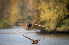 Couple de canard colvert (sergerebours) Tags: eau nature aisne calme canon70d canon100400lis iso500 1800s