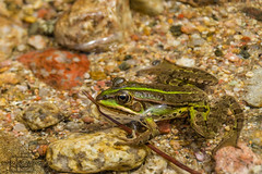 Frog 1 (zivlakovicdarko) Tags: outdoor closeup photography wet clear stone shore natural camouflaged green sunbath river rock frog rocky life head swimming pond summer clean bathing underwater camouflage rana cool color french toad transparent amphibian background water wild nature environment algae eye animal wildlife