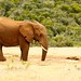 Bush Elephant drinking water with his mouth open