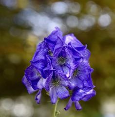 Monkshood (krys.mcmeekin) Tags: aconitum monkshood blue purple flower flowers bloom blooms bokeh macro nikon d750 outdoor garden