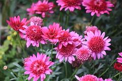 IMG_9475 (ctmarie3) Tags: banffnationalpark lakeminnewanka stewartcanyon trail flower