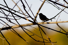 Silüet (Cem Akın) Tags: bird silhouette ficedula parva redbreasted flycatcher