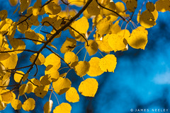 Golden (James Neeley) Tags: idaho autumn fall color leaves jamesneeley