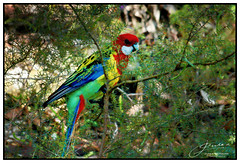 Rosy (juliewilliams11) Tags: bird outdoor photoborder newsouthwales australia rosella foliage red yellow blue green colour