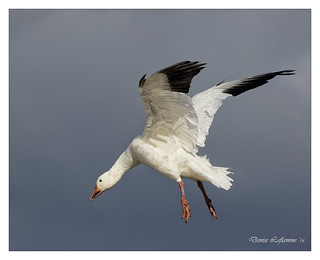 1E1A0613-2-DL   -   Oie des neiges / Snow Goose.