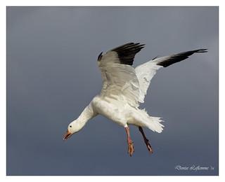 1E1A0613-2-DL   -   Oie des neiges / Snow Goose.