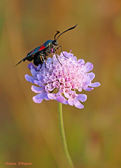 Zygena and flower scabiosa (Darea62) Tags: moth butterfly scabiosa flower insect animal summer garden wildlife wings country nature beauty antennae pollen petals green zygaena