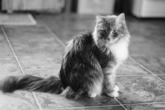 Sassy in the kitchen (dylan583) Tags: smctakumar1450 m42 takumar sonydslra700 manualexposure wideopen f14 manualfocus adapter cat animal pet blackandwhite blackwhite sonya700 naturallight