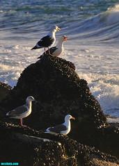 Harmonizing (mcshots) Tags: usa california socal losangelescounty coast beach birds seabirds animals gulls seagulls rocks jetty ocean sea water breakers combers surf nature autumn stock mcshots
