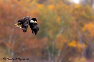 Bald Eagle - IMG_0826-1