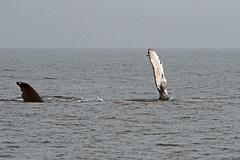 Whale-Watching in der Juan de Fuca Straße - Buckelwal (astroaxel) Tags: kanada british columbia vancouver island wahle watching juan de fuca strase buckelwal wal