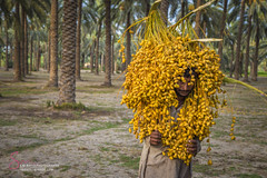 Khairpur Sindh (S.M.Rafiq) Tags: khairpur sindh farming date smrafiq pakistan work