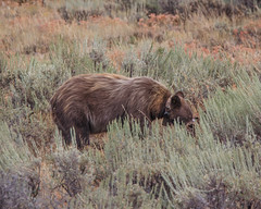 Grizzly Feeding (Jeffrey Sullivan) Tags: grand teton national park landscape nature travel photography wyoming united states canon photo copyright jeff sullivan usa grizzly bear grandtetonnationalpark august 2008 wildlife