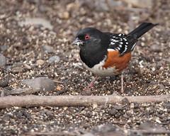 Spotted towhee (jlcummins - Washington State) Tags: bird yakimacounty yakimaareaarboretum washingtonstate nature spottedtowhee birding birdwatching