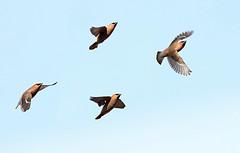 Waxwing Symphony (Ger Bosma) Tags: 2mg200918zzfiltered pestvogel bombycillagarrulus waxwing bohemianwaxwing seidenschwanz jaseurboral beccofrusone ampeliseuropeo tagarelaeuropeu  jemiouszka waxwings flight flying air sky airborne wings flock group
