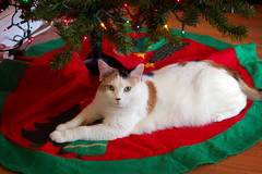 Patches unter the christmas tree (towert7) Tags: cat patches kitty christmas tree under nikon d50 nikkor 3570mm f28 1262016