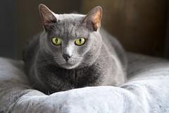 Floor + Pillow = Cat (The Good Brat) Tags: pillow floor blue dutiful