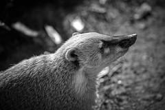 profil de coati (rondoudou87) Tags: coati parc reynou zoo nature natur wild willife pentax k1 noir noiretblanc blanc black blackwhite monochrome