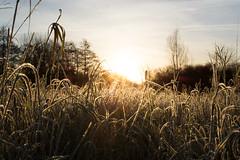 FROSTY MEADOW (M.KOWSKY) Tags: frost meadow nature dof blur sun sunrise winter scenery ray outdoor