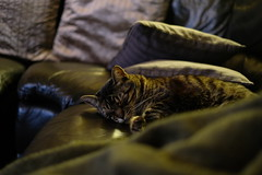 Mao tired after moving to France (Jerome ANTOINE) Tags: mao cat chat xt2 fujifilm fuji 35mm