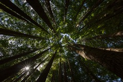 Tall Timber (grantg59@xtra.co.nz) Tags: trees sequoia tree