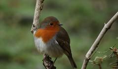 Robin (Sybalan,) Tags: birds blueskies benmoregardens argyllandbute water wildlife westcoast woodland wild wood trees tranquility botanicalgardens cowal canon 760d mist outdoor ornithology landscape
