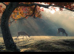 Autumn Morning in Nara (ScottSimPhotography) Tags: misty autumn morning nara japan japanese park deer trees fall colors colours red orange sun sunlight sunbeam travel nature