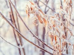Frozen branch (memfisnet) Tags: siberia ustilimsk russia winter winterday branch snow cold olympus olympusem5 nature