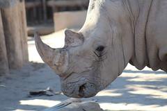 (Rae of Mad Photography) Tags: rhino africa dust dirt cry eye eyes horn endangered endangerment skin wrinkles whiterhino white grey gray nature animal animals