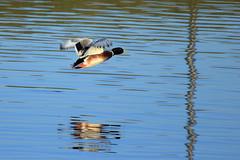 Duck in flight (cees van gastel) Tags: ceesvangastel canoneos550d tamron70300mm birds vogels natuur nature duck eend waterdonkenbreda waterakkers
