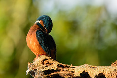 Martin-pcheur (Cchampetier) Tags: bird animal martin kingfisher pecheur oiseau aquatique animalier martinpcheur