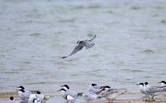 Black Tern (Chlidonias niger) in flight (Steve Arena) Tags: flying inflight nikon provincetown massachusetts flight d750 tern 2015 blacktern chlidoniasniger marshtern blte hatchesharbor flightshot