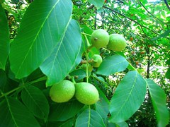 Juglans regia, Walnoot (ekenitr) Tags: tree fruit walnoot juglansregia persianwalnut noyercommun echtewalnuss ekenitr