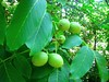 Juglans regia, Walnoot (ekenitr) Tags: tree fruit walnoot juglansregia persianwalnut noyercommun echtewalnuss ekenitr