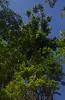 Austrosteenisia blackii [lower] and Castanospermum australe, Black Scrub, near Townsville, QLD, 25/08/15 (Russell Cumming) Tags: plant queensland fabaceae townsville castanospermumaustrale castanospermum austrosteenisia austrosteenisiablackii blackscrub