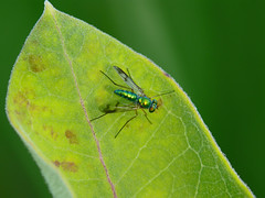 Long Legged Fly (midimatt) Tags: wisconsin longleggedfly wi newburg greenfly saukville dolichopodidae ozaukee greenmetallicfly riveredgenaturecenter mattdrollinger matthewdrollinger