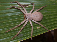 Sparassidae Huntsman Spider DSCF2471 (Bill & Mark Bell) Tags: exmouth westernaustralia australia geo:town=exmouth geo:state=westernaustralia geo:country=australia geo:lon=11425453egeolat2217752sgeoalt8m 11425453e2217752salt8m taxonomy:kingdom=animalia animalia taxonomy:phylum=arthropoda arthropoda taxonomy:class=arachnida arachnida taxonomy:order=araneae araneae taxonomy:superfamily=sparassoidea sparassoidea taxonomy:family=sparassidae sparassidae taxonomycommonnamehuntsmanspider huntsmanspider spider