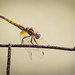 tightrope walker dragonfly