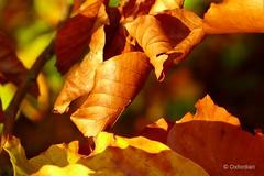 Golden October (oxfordian.world) Tags: autumn oktober sunlight october colours herbst cotswolds autumnleaves herbstlaub colourlovers herbstfarben goldenoctober goldeneroktober oxfordian lueneburgheath lumixlx7 oxfordiankissuth