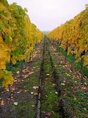 Unendlich (almresi1) Tags: autumn germany vineyard herbst bunt weg weinberg stufen treppen remstal strmpfelbach weinsatdt