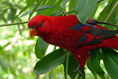Red Lorikeet (brentflynn76) Tags: red color colour bird nature animal zoo lorikeet parrot aviary avian