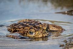 Giant Toad in south Texas (karenmelody) Tags: amphibian amphibians animal animals canetoad hidalgocounty lagunasecaranch rhinellamarina vertebrate vertebrates toad rhinellahorribilis gianttoad