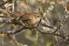 troglodyte mignon (frederic.laroche6) Tags: troglodyte mignon oiseau bird greoux provence nikon d7100 200 500 f56 14