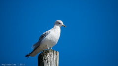 The Ubiquitous Seagull - Ring-billed Gull - 3 (RGL_Photography) Tags: seagulls birds us newjersey unitedstates wildlife gulls monmouthcounty redbank jerseyshore mothernature seabirds ringbilledgull larusdelawarensis navesinkriver nikond610 tamronsp150600mmf563divcusd