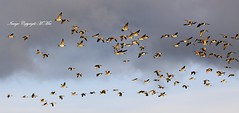 CG Flock.! (nondesigner59) Tags: nature birds flying flock archives canadagoose eos50d nondesigner nd59 copyrightmmee
