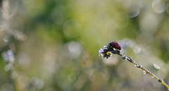 Coccinelle- ladybird (steph_tho) Tags: coccinelle ladybird ma cro nikon d90 60mmnikon limousin