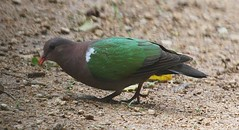Emerald Dove (Chalcophaps indica) (iainrmacaulay) Tags: bird dove australia emerald indica chalcophaps