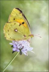 Nubes de algodon (- JAM -) Tags: naturaleza flower macro nature insect nikon flor explore jam mariposas d800 insecto macrofotografia explored lepidopteros juanadradas