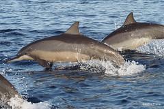 PC130648 (gprana) Tags: bali indonesia dolphin olympus lovina m43 singaraja micro43 microfourthirds olympusomdem5 olympusmzuikodigitaled75300mmf4867ii