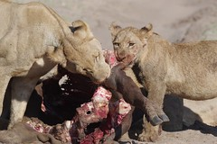 Young lions feeding (dr brewbottle) Tags: cub lion botswana